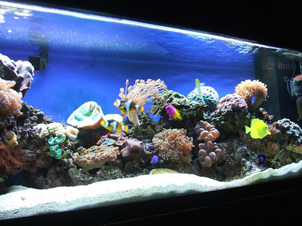 מבט מקרוב נתחן צהוב, ליצנים ואלמוגים