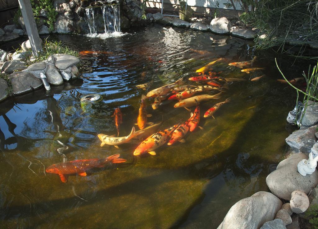 דגי קוי גדולים שוחים לאותו כיוון בבריכה