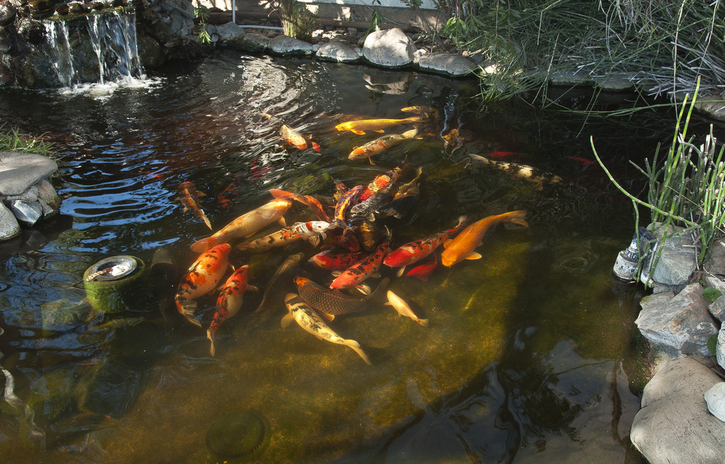 דגי קוי ענקיים מרוכזים במרכז הבריכה