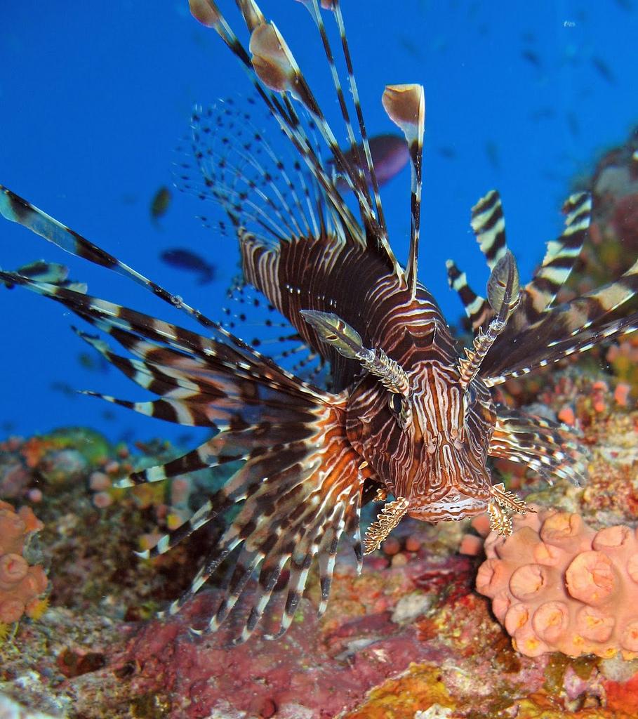 Common Lionfish1