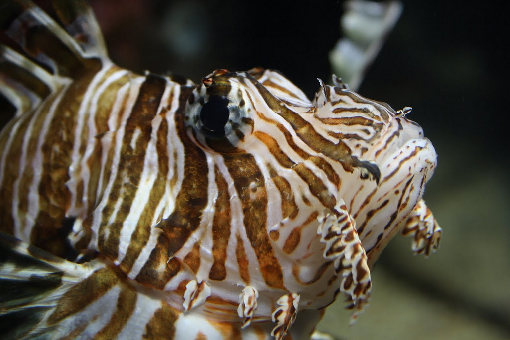 Common Lionfish2