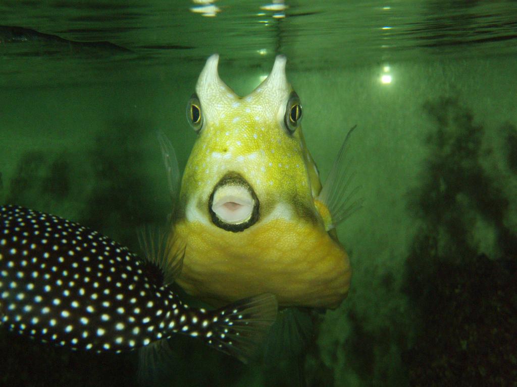 CowBox Fish