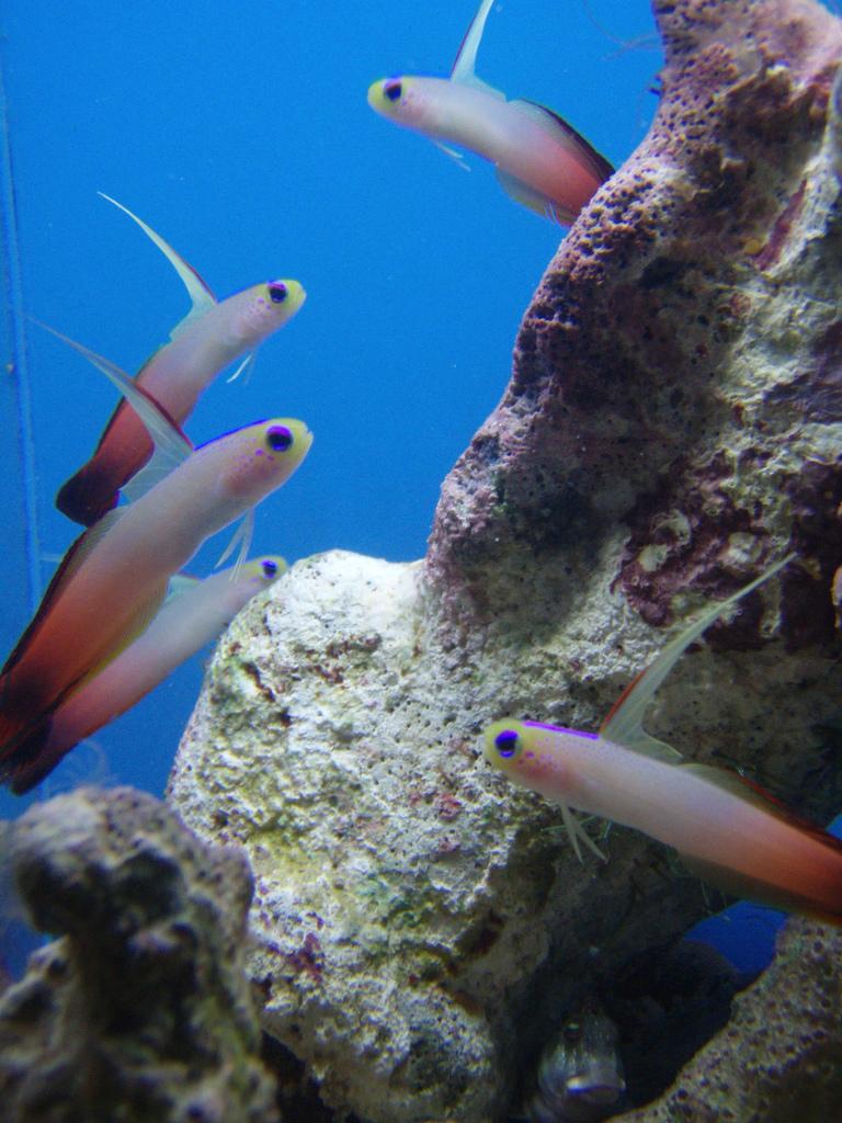 Firefish - Magnifica