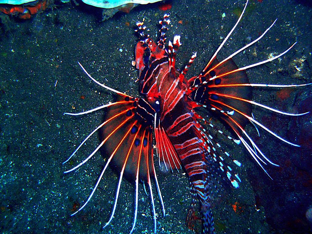 Radiata Lionfish1