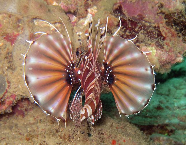 Zebra Lionfish1