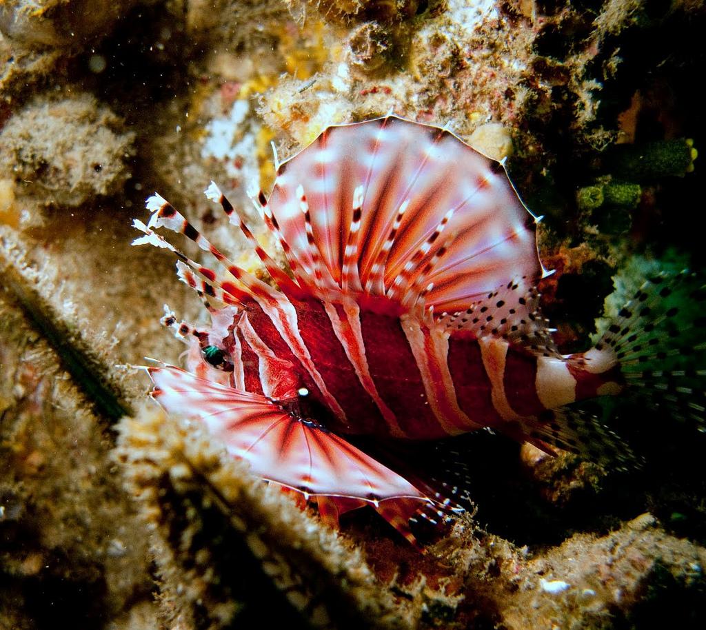 Zebra Lionfish2