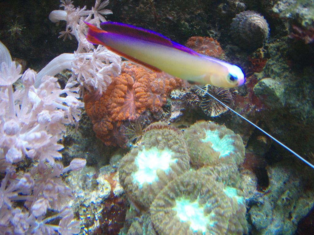 purple firefish - Decora1