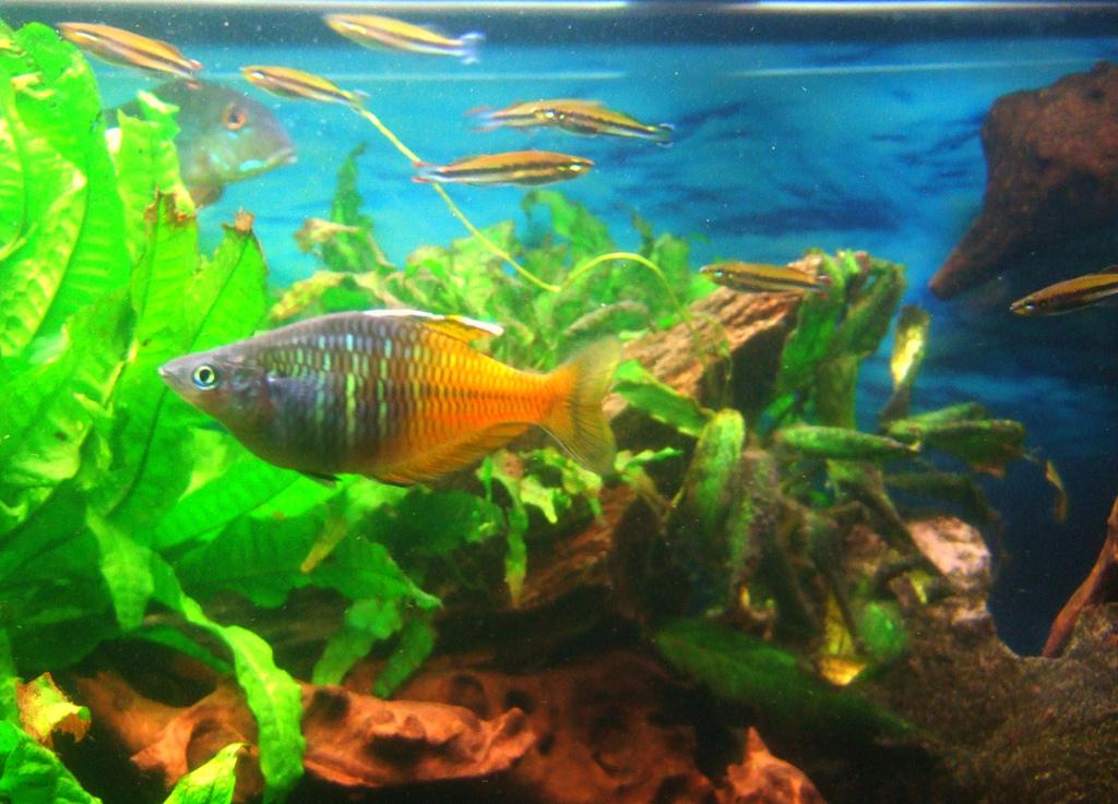 קשת בושמני במיכל דגים מגוון